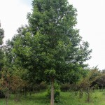 Sawtooth Oak (1)