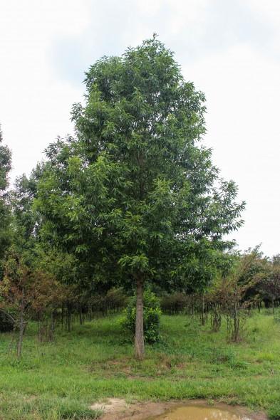 Sawtooth Oak (1)
