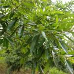 Sawtooth Oak (3)