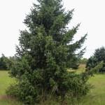 Serbian Spruce (1)