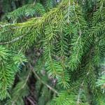 Serbian Spruce (3)