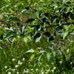 Styrax japonica - Japanese Snowbell_Foliage View