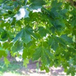 Sugar Maple (2)