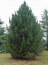 Swiss Stone Pine (1)