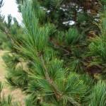 Swiss Stone Pine (4)