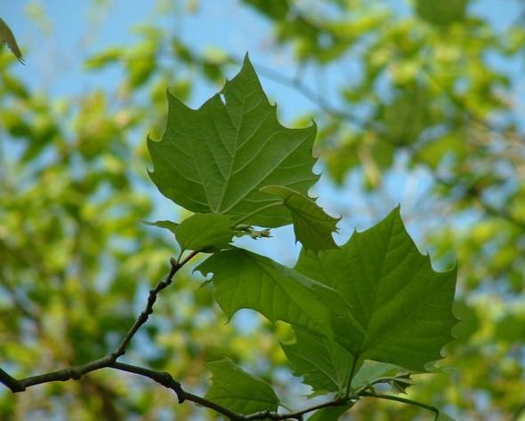 Sycamore foliage_Internet