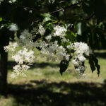 Syringa reticulata - Japanese Tree Lilac_Flower View