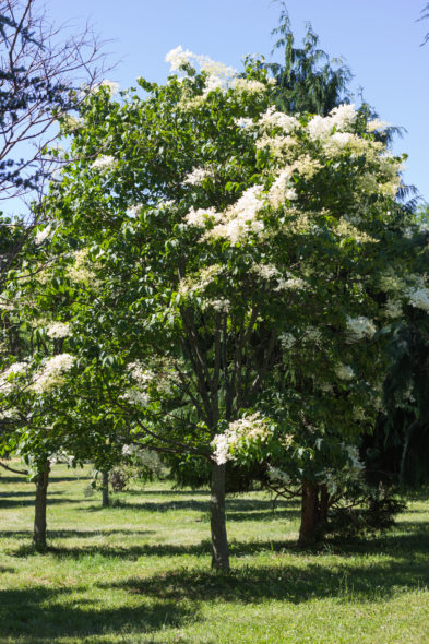 Syringa Reticulata - Japanese Tree Lilac Spring View with bloom