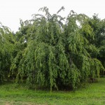 Weeping Cherry (4)