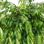 Weeping Cherry Foliage_Internet