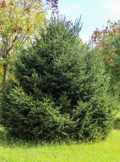 White Spruce (2)