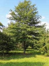 Willow Oak (2)