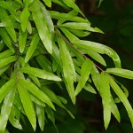 Willow Oak Foliage_Internet