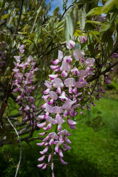Wisteria pink