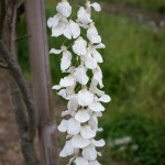Wisteria white flower