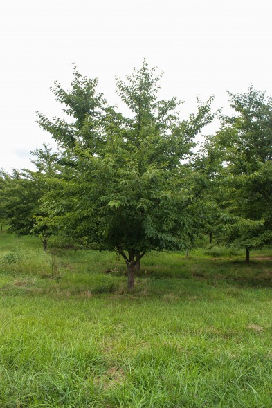 Yoshino Cherry (Low Branched) (1)