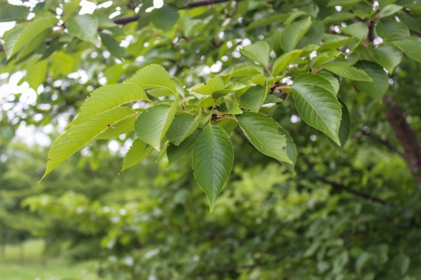 Yoshino Cherry (Low Branched) (9)