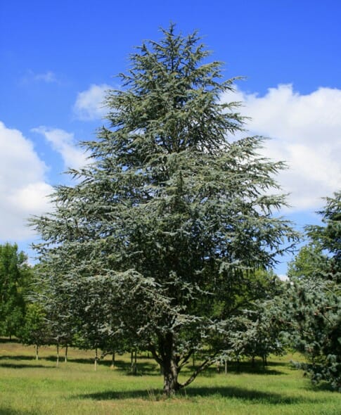 Blue Cedar Tree Varieties ~ Blue atlas cedar halka nurseries