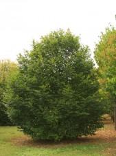 carpinusbetulusbig