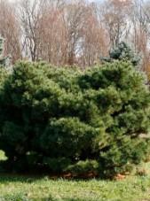 dwarf eastern white pine