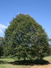 greenspire linden
