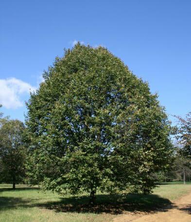greenspire linden halka nurseries