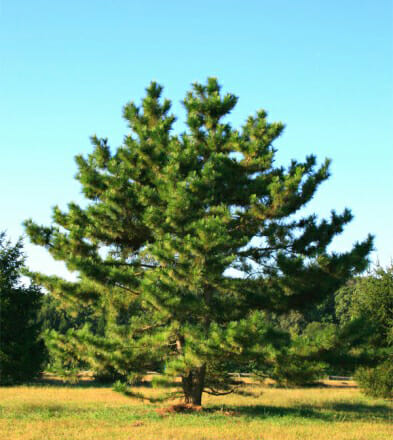 jap black pine