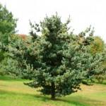 jap white pine
