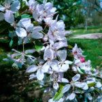 malus-floribunda-flower