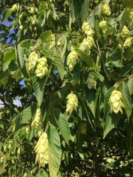 American Hophornbeam Flower