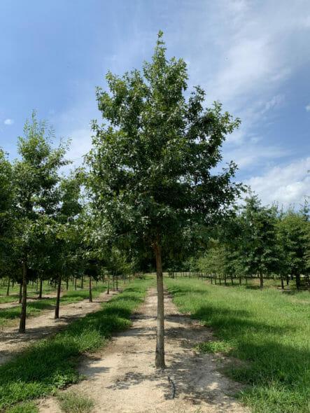 shumard-oak