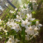 sugartyme-crabapple-malus-flower