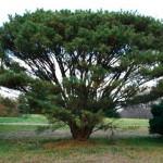 tanyosho pine