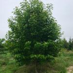Yulan Magnolia Spring View
