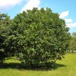 20140826-Fringe Tree