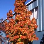 Apollo Maple tree_Internet