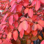 Autumn brilliance serviceberry foliage_internet