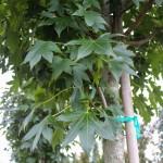 Emerald Sentinel Sweetgum (2)