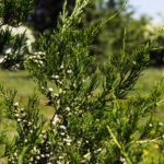 Juniperus chinensis 'Hetzi Columnaris' - Hetzi Juniper_Foliage View
