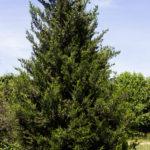 Juniperus chinensis 'Hetzi Columnaris' - Hetzi Juniper_Spring View
