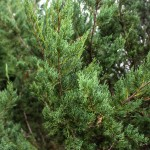 Manhattan Blue Juniper (4)