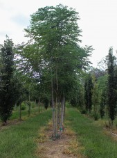 Multi-stem Espresso Kentucky Coffee Tree (1)