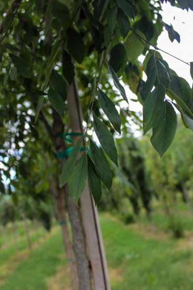 Multi-stem Espresso Kentucky Coffee Tree (2)