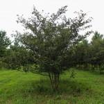 Multi-stem Winterking Hawthorn (3)