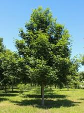 Norweigen Sunset Maple (1)