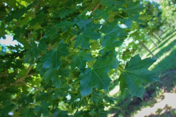 Norweigen Sunset Maple (2)