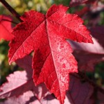 Redpointe Maple Foliage_Internet