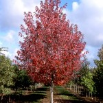 Redpointe Maple Tree_Internet