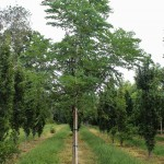 Single-stem Espresso Kentucky Coffee Tree (1)