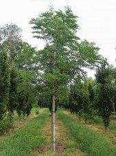 Single-stem Espresso Kentucky Coffee Tree (1)